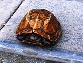 Rùa vàng ở suối cá thần được trả nửa tỷ đồng