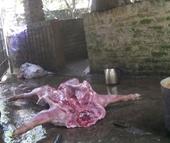Theo chân thịt lợn giá rẻ vào lò giết mổ lợn ốm chết - Kỳ 1