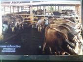 Sự thật đằng sau chuyện lạ cầu siêu cho hàng ngàn trâu, bò tại Yên Bái