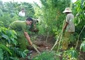 Tình trạng trồng cây cần sa vẫn gia tăng