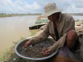 Huyện Tam Nông Gỡ khó cho vùng chuyên canh tôm càng xanh
