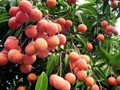 TPHCM tiêu thụ khoảng 70 000 tấn vải thiều cho Bắc Giang, Hải Dương
