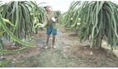 Huyện Chợ Gạo Nông dân phấn khởi thu hoạch thanh long ra hoa tự nhiên