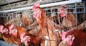 Nghi vấn gà Mỹ ngậm hóa chất gây ung thư arsenic