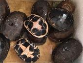 Nhiều cá thể rùa và tê tê quý hiếm trên xe biển số Lào về Việt Nam
