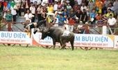 Từ việc chủ trâu bị húc chết Có nên dừng các lễ hội chọi động vật